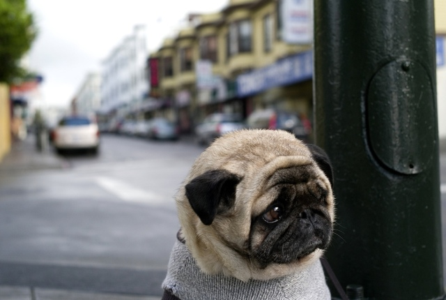 sad-pug-is-sad-big