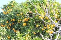 Apelsinerna hängde tungt i träden runtom i staden
